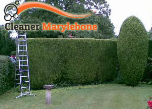 Hedge Maintenance Marylebone